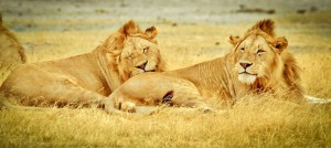 Lions, Serengeti, Tanzania, East and Southern Africa
