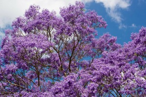 Jacaranda, South Africa
